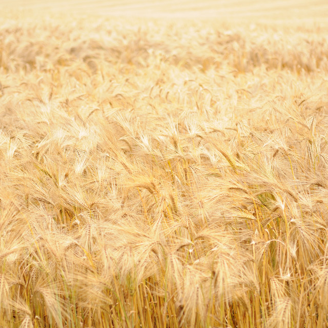"""Barley field Hampshire UK"" stock image"