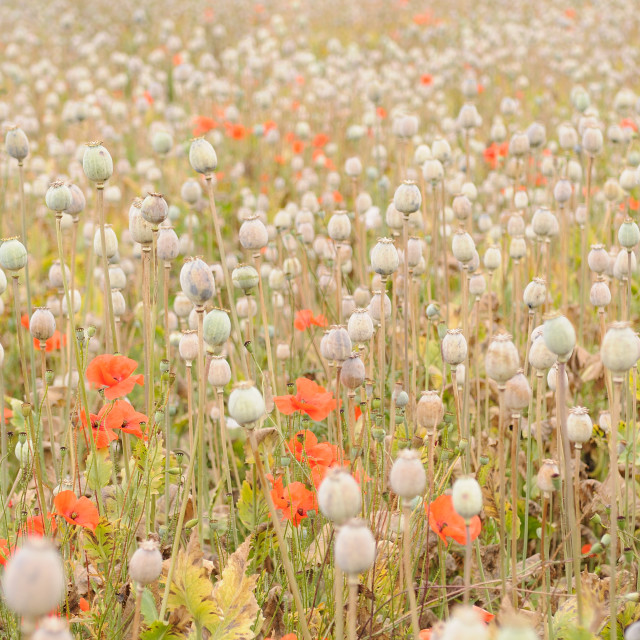 """Poppy heads on field"" stock image"