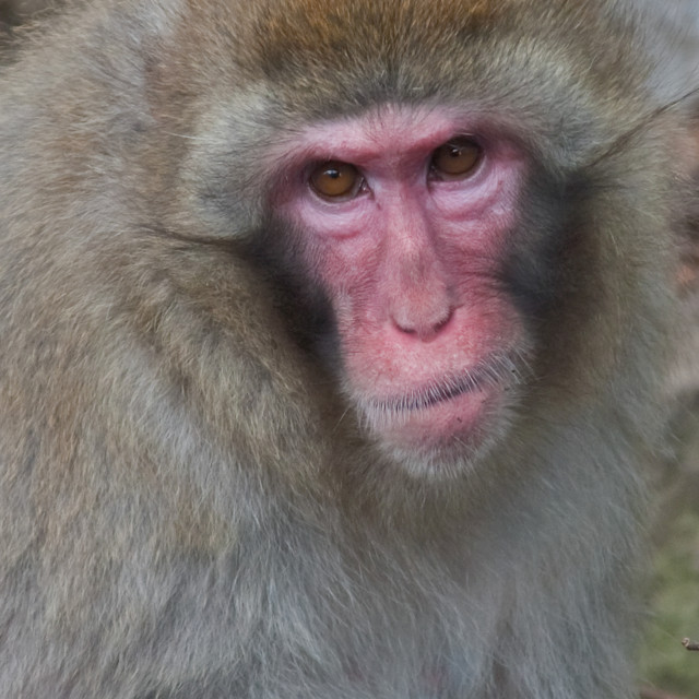 """Monkey edinburgh zoo"" stock image"