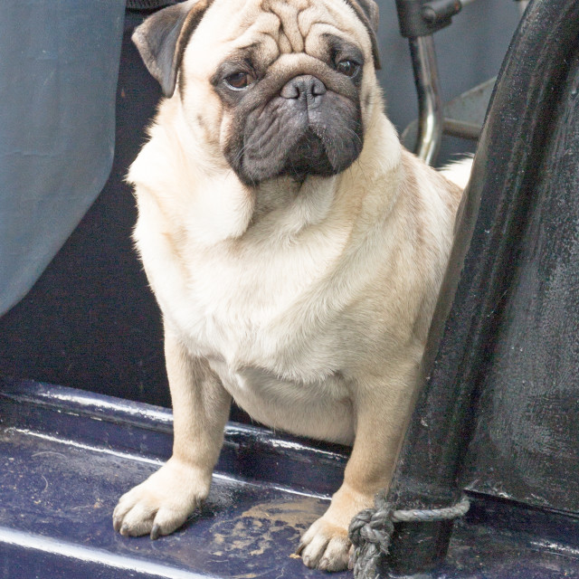 """pug on a boat"" stock image"