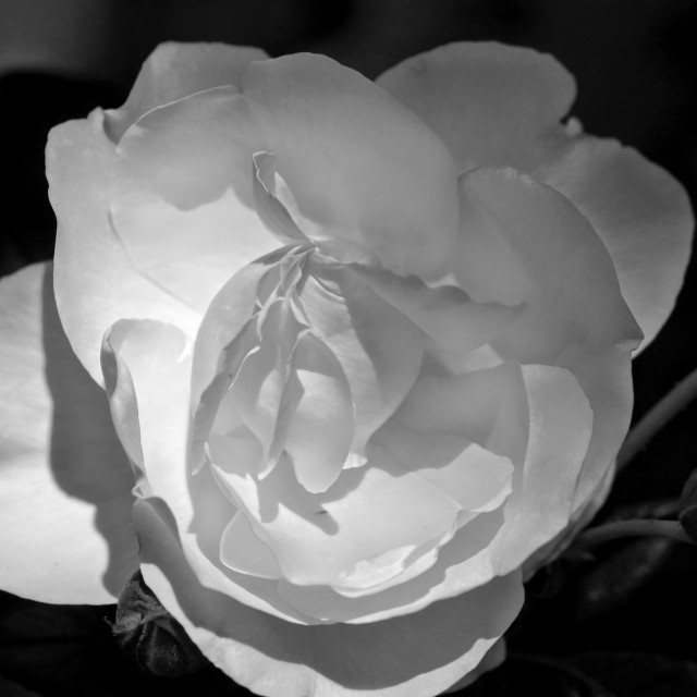 """B&W Rose"" stock image"