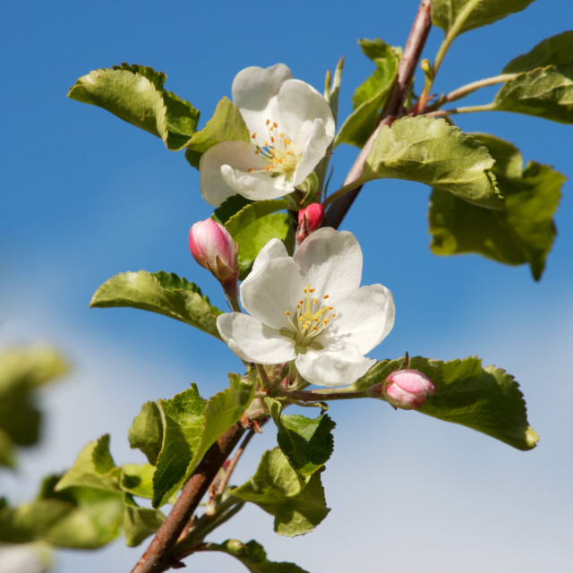 """Apple tree blossoms"" stock image"