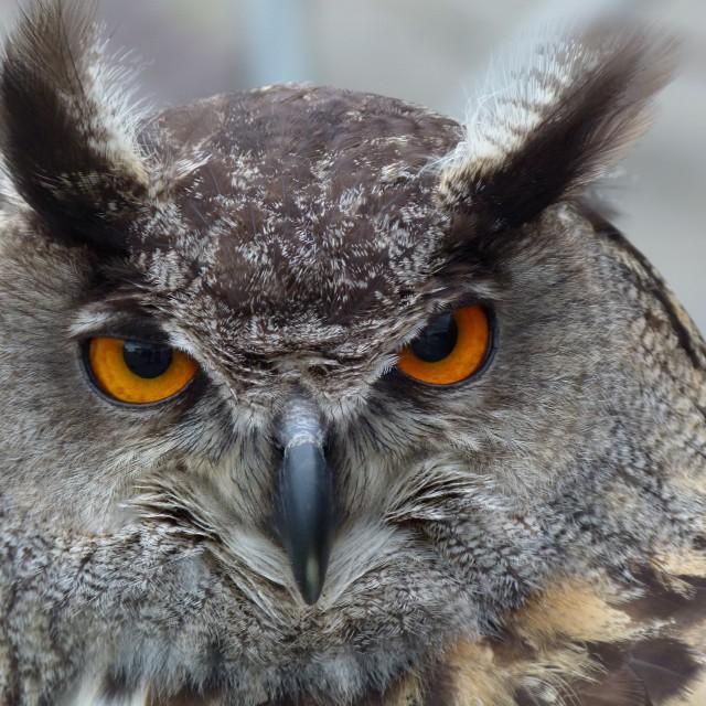 """""""Eagle (owl) eyes"""" stock image"""