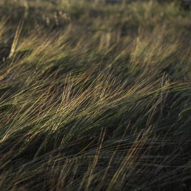 """Rye field in the Wind"" stock image"