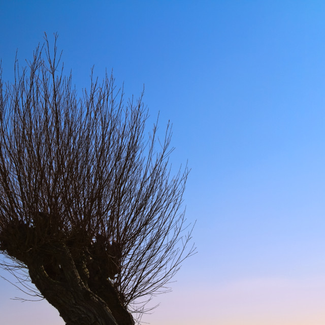 """""""Silhouetted willow tree"""" stock image"""