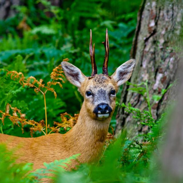 """""""Roe Deer Stag"""" stock image"""