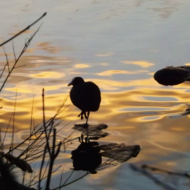 """""""Sunset Coot"""" stock image"""