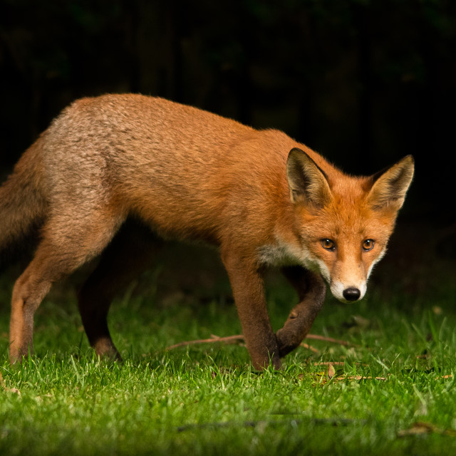 """urban red fox cub"" stock image"