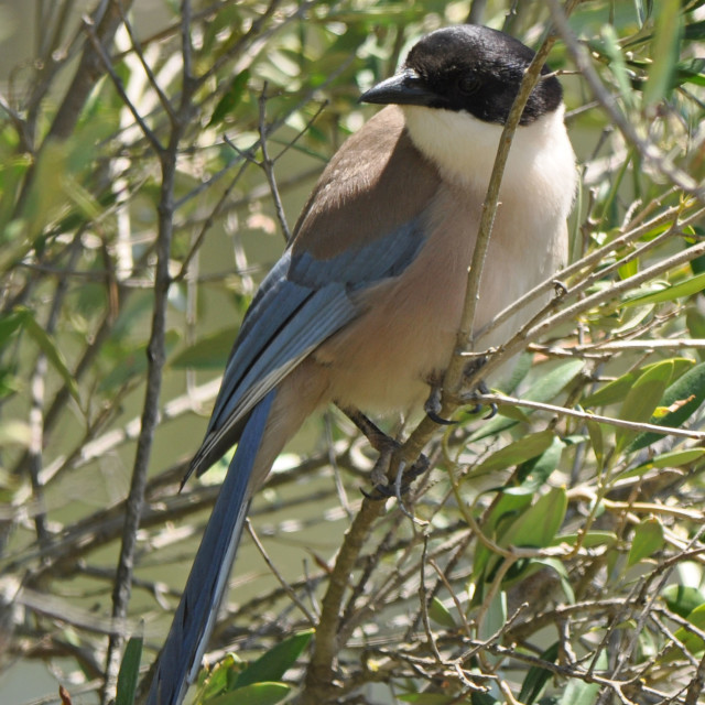 """Azure-winged magpie"" stock image"
