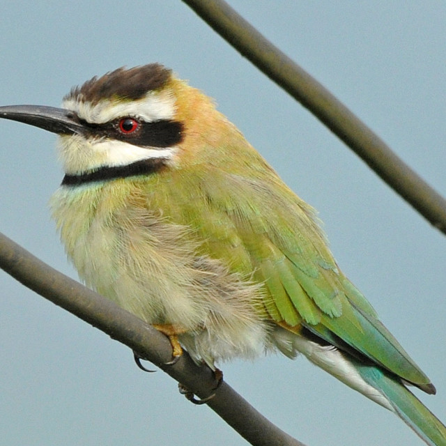 """White-throated bee-eater"" stock image"