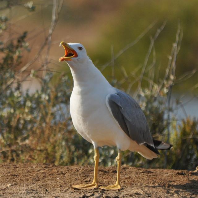 """""""Yellow-legged herring gull"""" stock image"""