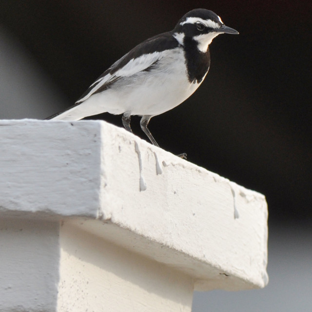 """African pied wagtail"" stock image"
