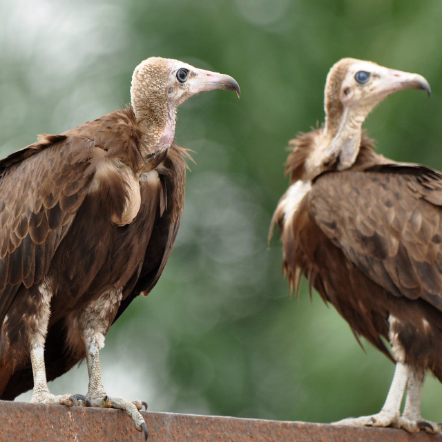 """Hooded vultures"" stock image"