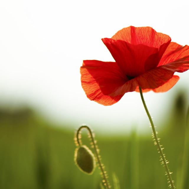 """Poppy Seed"" stock image"