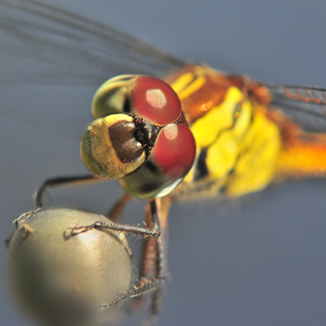 """Dragonfly Stare"" stock image"