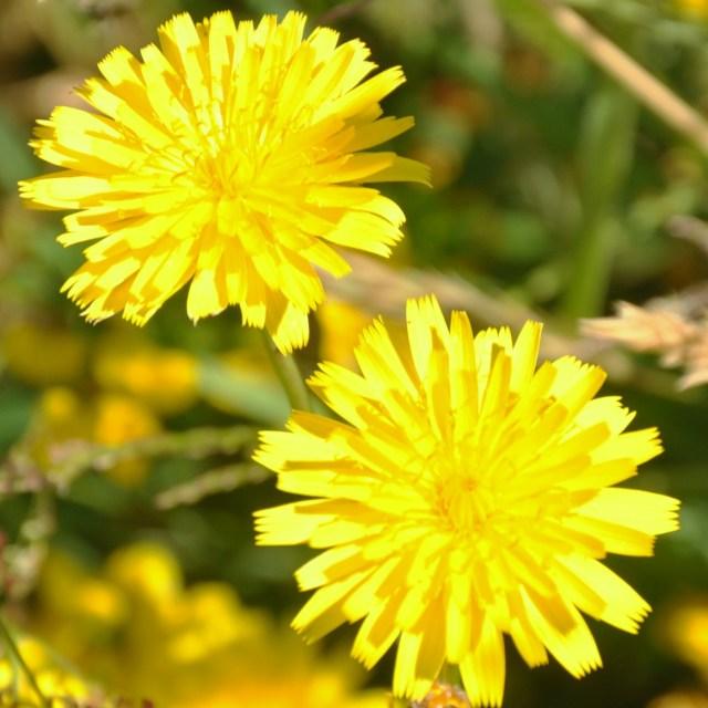 """""""Dandelions in Hay"""" stock image"""