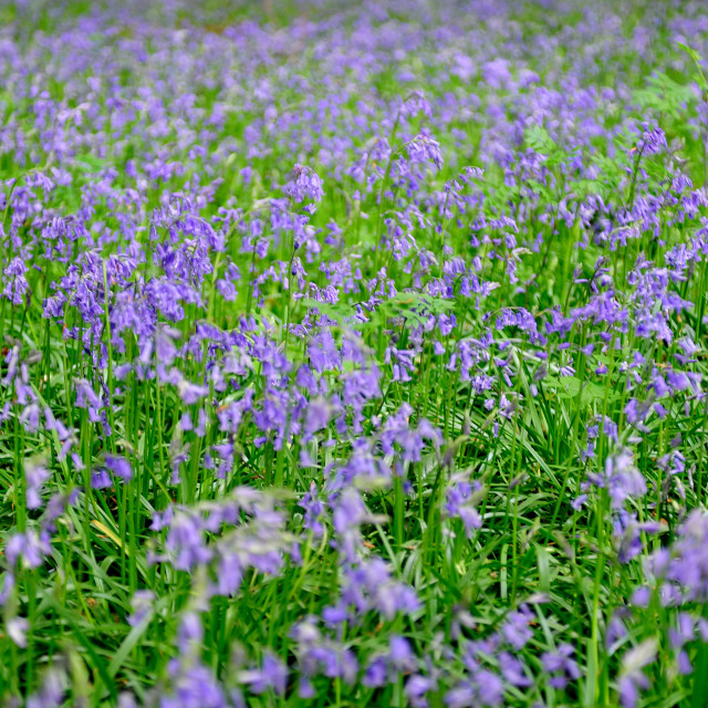 """Common Bluebell carpet"" stock image"