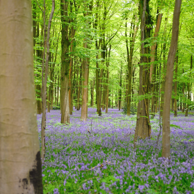 """Bluebell wood, Hampshire UK"" stock image"