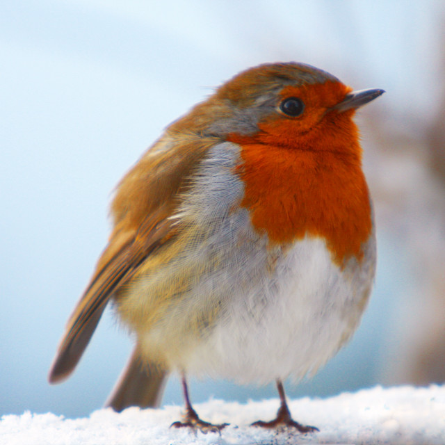 """Too much Christmas pudding for a Robin Red Breast"" stock image"