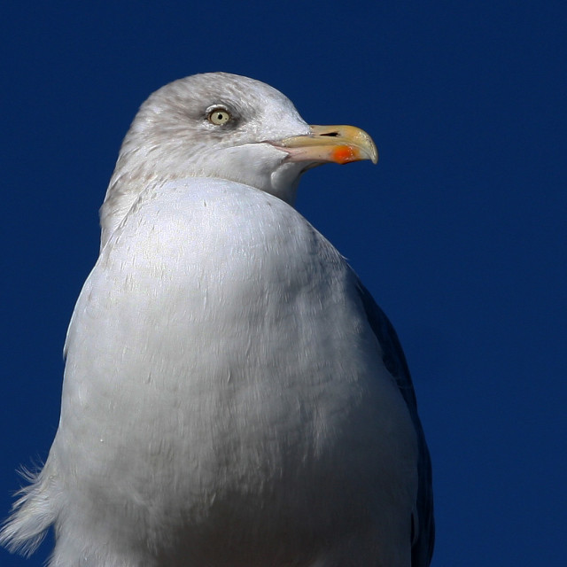 """""""Seagull in charge"""" stock image"""