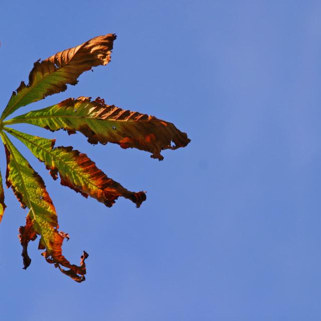 """Conker tree leaf"" stock image"