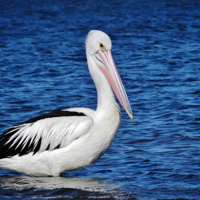 """Australian Pelican"" stock image"