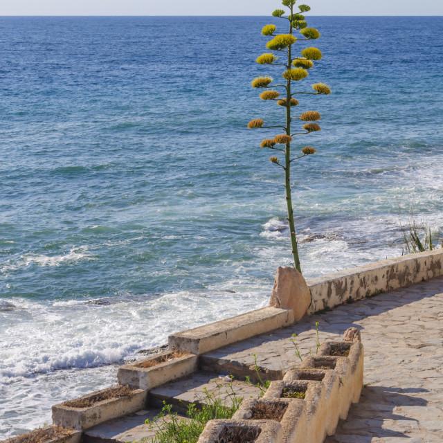 """Aloe vera plant growing along the Mediterranean coast"" stock image"