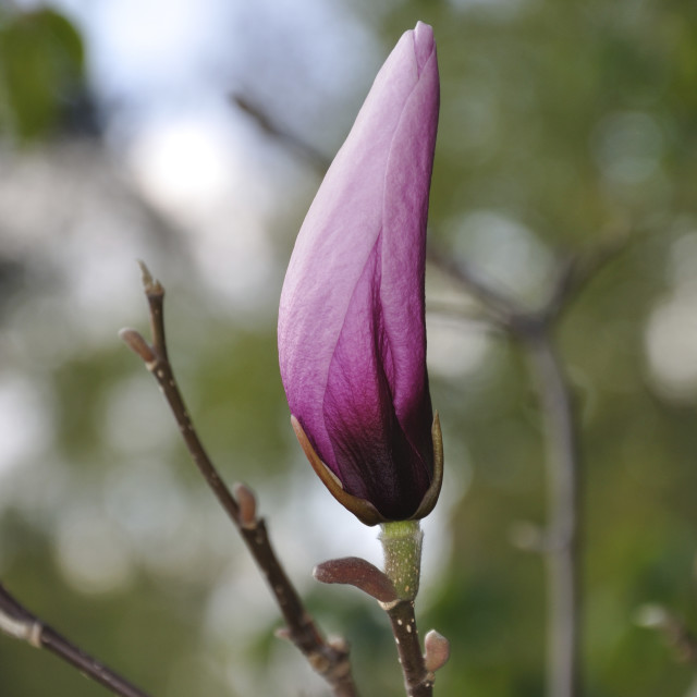 """Pink magnolia bud"" stock image"