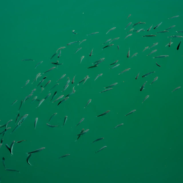 """School of fish"" stock image"