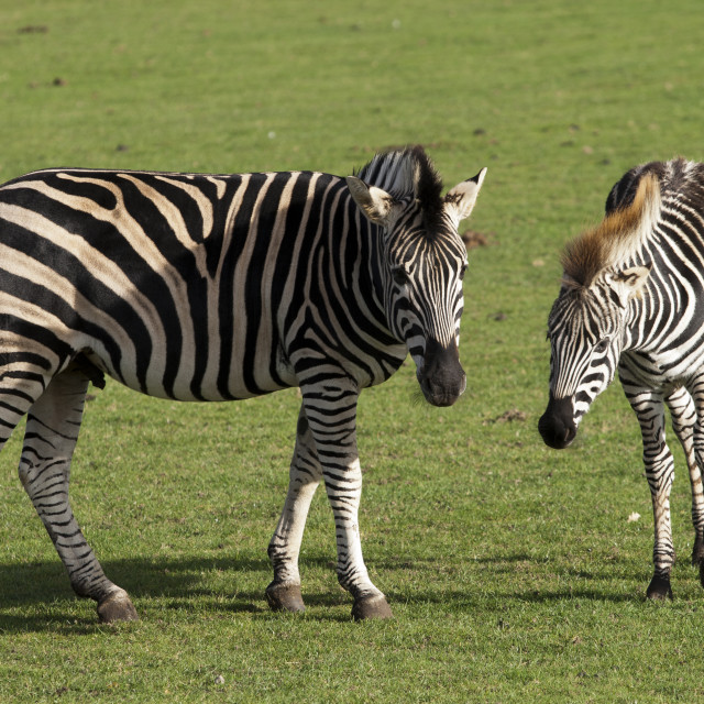 """Zebra and Foal"" stock image"