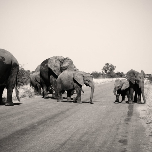 """Herd of Elephants in Kruger"" stock image"