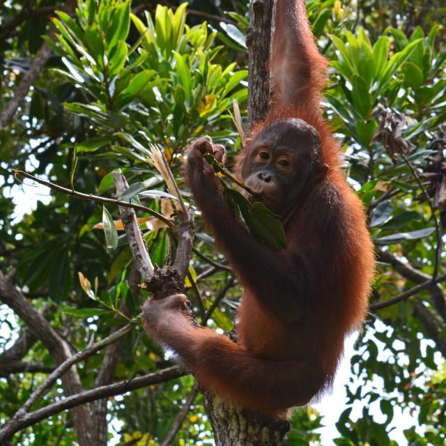 """Borneo's Orangutan"" stock image"