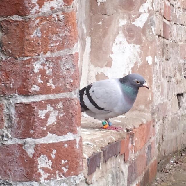 """Resting Racing Pigeon"" stock image"