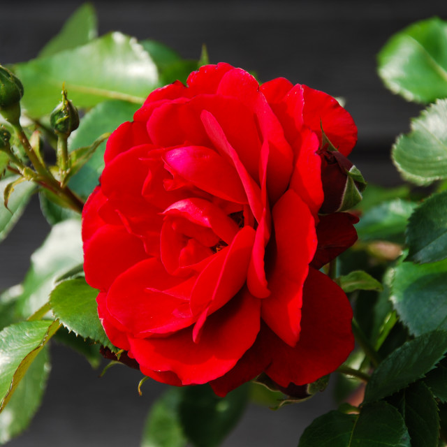 """""""Red rose close-up"""" stock image"""