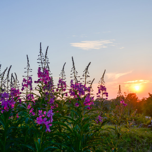 """""""Blossom fireweed at sunset"""" stock image"""