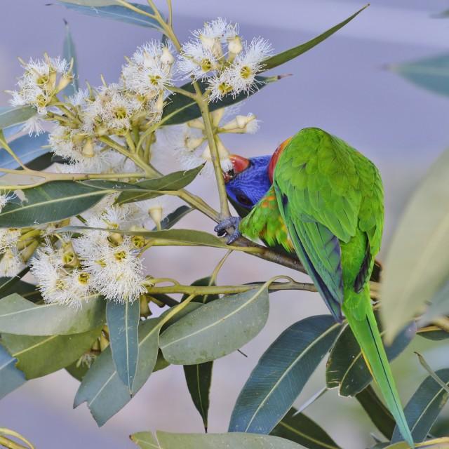 """Rainbow Lorikeet Reaching Down For Nectar"" stock image"