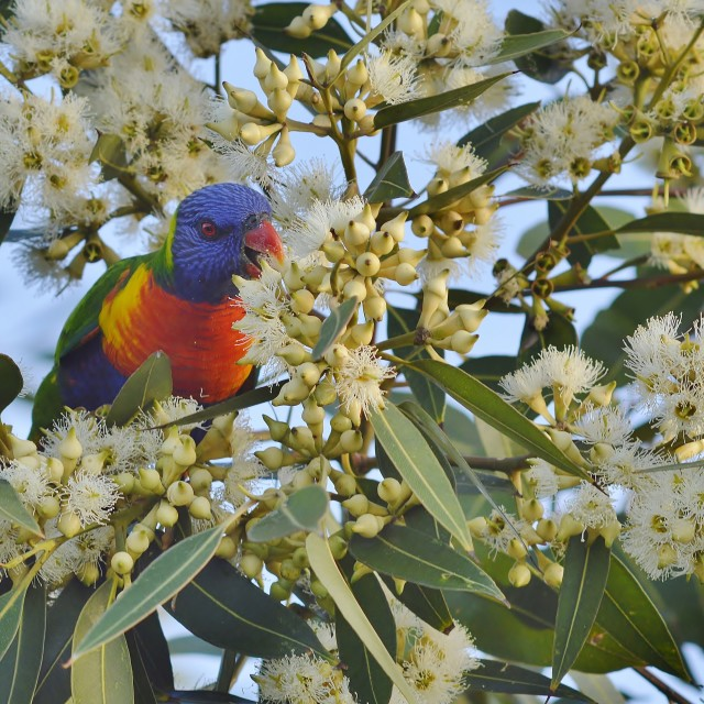 """Rainbow Lorikeet Reaching Over For Nectar 3"" stock image"