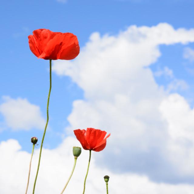 """""""Wild poppies"""" stock image"""