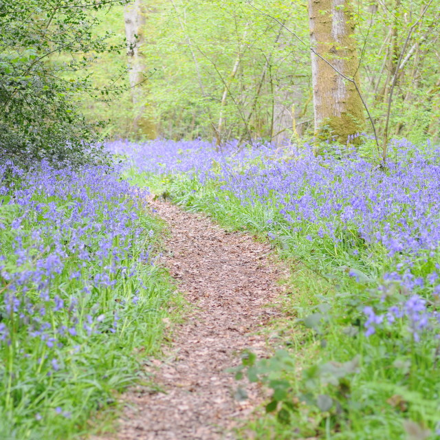 """Bluebell woodland walk, Hampshire UK"" stock image"