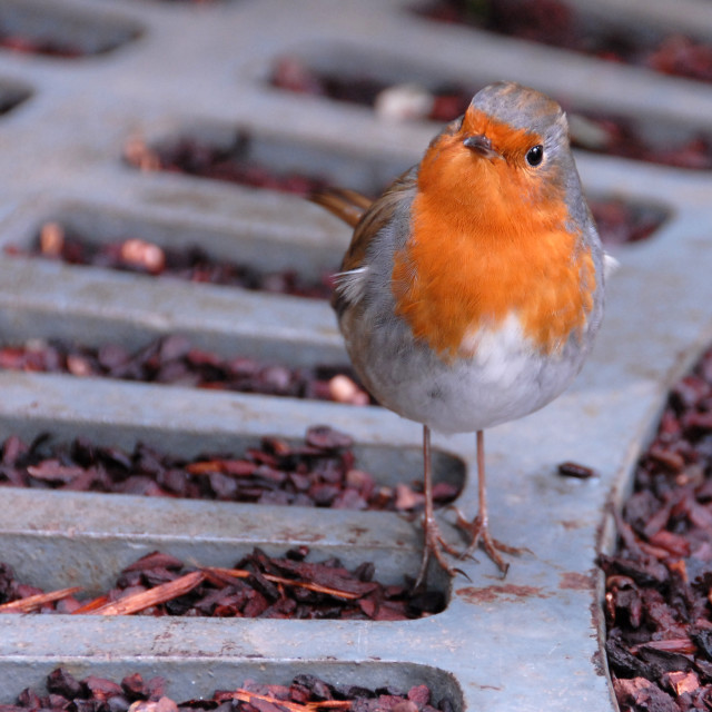 """Little Robin red breast"" stock image"