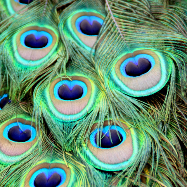 """""""Peacock feathers"""" stock image"""