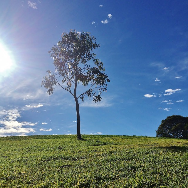 """""""HDR - Little Gum Tree On Grassy Hill"""" stock image"""
