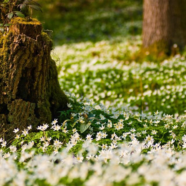 """""""Wood Anemones"""" stock image"""