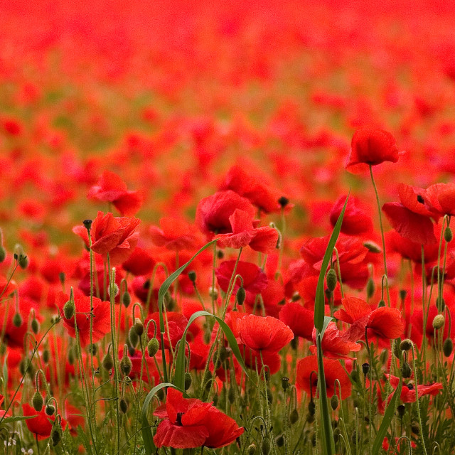 """A Field full of Poppies"" stock image"