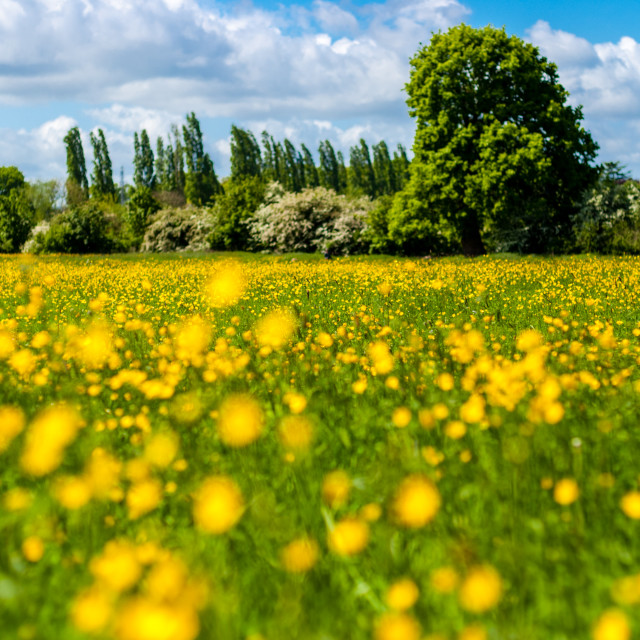 """""""A Field full of Buttercups"""" stock image"""