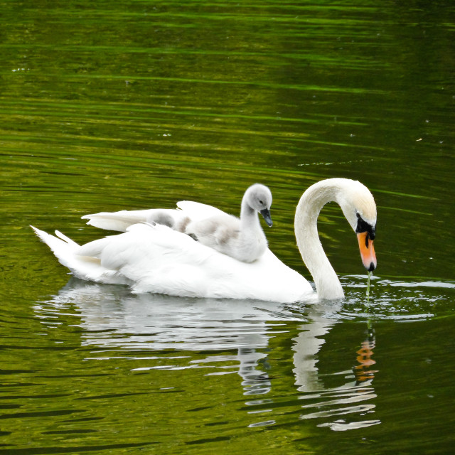 """Swan with Cygnet"" stock image"