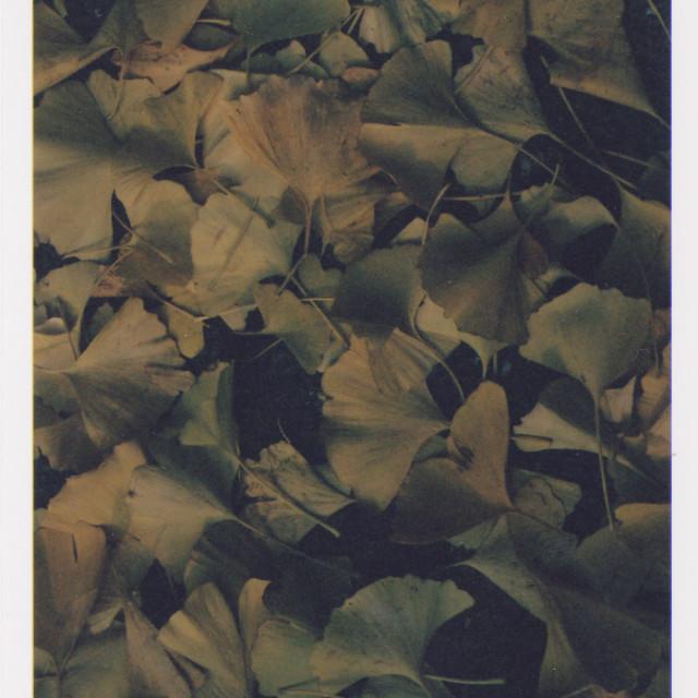 """Maidenhair tree (Ginkgo) leaves"" stock image"