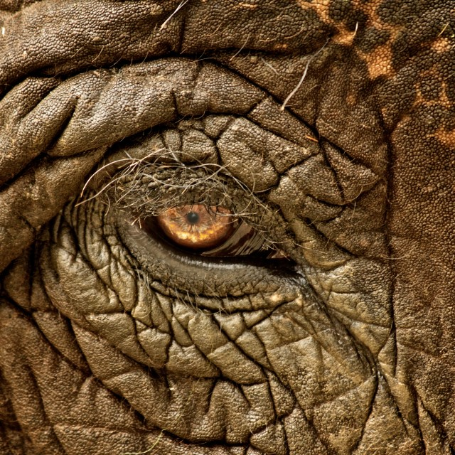 """Elephant's Eye"" stock image"