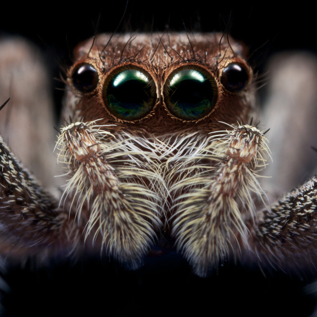 """Staring Spider"" stock image"