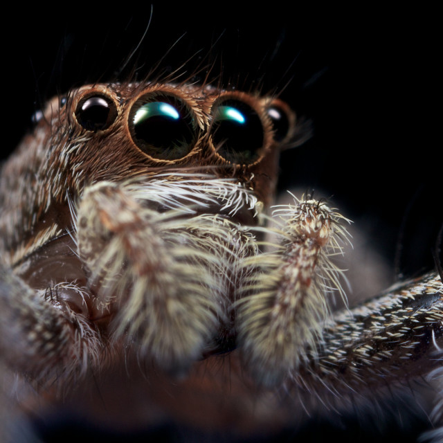 """Salticidae Jumping Spider"" stock image"